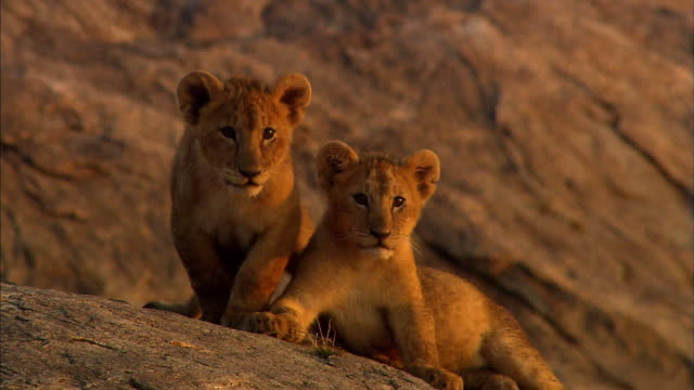 shot of lion cubs resting at serengeti - young animal stock videos & royalty-free footage