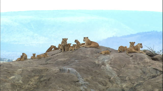 shot of lion cubs resting on large rock - resting stock videos & royalty-free footage