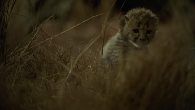 CU POV  Shot of lion cubs / Unspecified