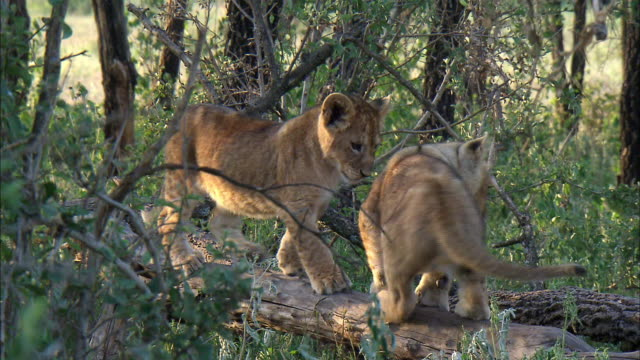 shot of lion cubs - branch stock videos & royalty-free footage