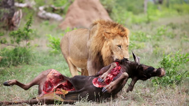 ms shot of lion dragging carcass / kruger national park, mpumalanga, south africa - dragging stock videos & royalty-free footage