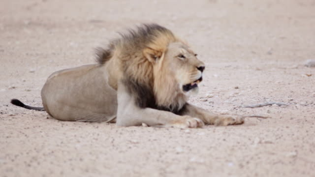 MS Shot of Lion drinking at watering hole then lays down and roars AUDIO / Kgalagadi Transfrontier Park, Northern Cape, South Africa