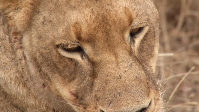 ecu shot of lion eyes / kruger national park, mpumalanga, south africa - provinz mpumalanga stock-videos und b-roll-filmmaterial