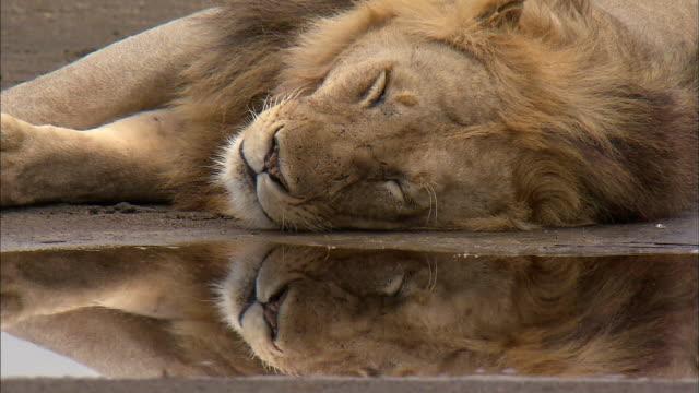 Shot of Lion having Nap