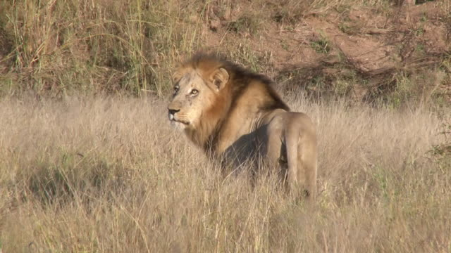 ms shot of lion in meadow / kruger national park, mpumalanga, south africa - ライオン点の映像素材/bロール
