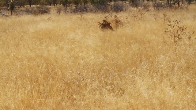 WS Shot of lion is laying in yellow field of grass / Etosha, Ombika, Namibia