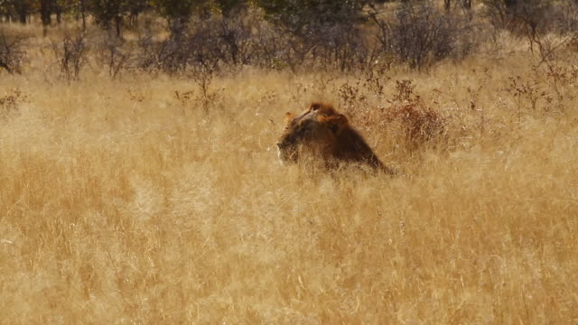 MS Shot of lion is laying in yellow field of grass / Etosha, Ombika, Namibia