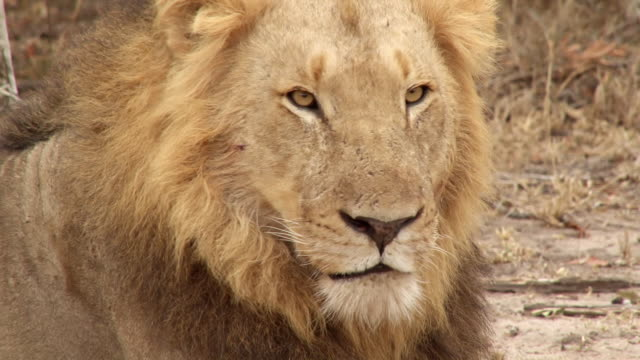 cu shot of lion looking / kruger national park, mpumalanga, south africa - mpumalanga province stock videos and b-roll footage