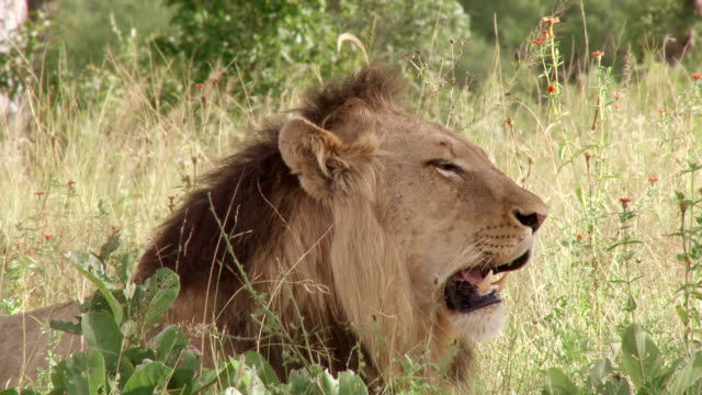 ms shot of lion looking / kruger national park, mpumalanga, south africa - provinz mpumalanga stock-videos und b-roll-filmmaterial