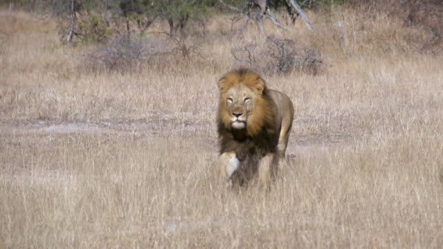 WS SLO MO Shot of Lion running in bush / Kruger National Park, Mpumalanga, South Africa