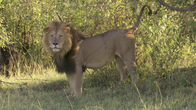 ms shot of lion / tanzania  - standing stock videos & royalty-free footage