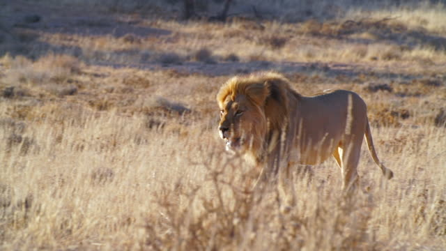 ms ts shot of lion walking across savannah / etosha national park, namibia - wildtier stock-videos und b-roll-filmmaterial