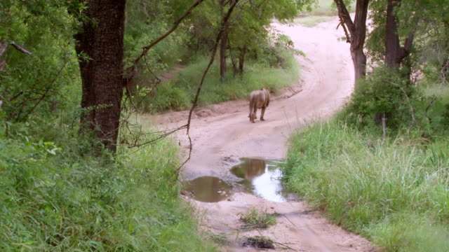 ws shot of lion walking down road / kruger national park, mpumalanga, south africa - mpumalanga province stock videos and b-roll footage