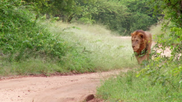ms shot of lion walking down road / kruger national park, mpumalanga, south africa - mpumalanga province stock videos and b-roll footage