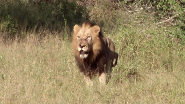 ms pan shot of lion walking through grass / kruger national park, mpumalanga, south africa - male animal stock videos & royalty-free footage