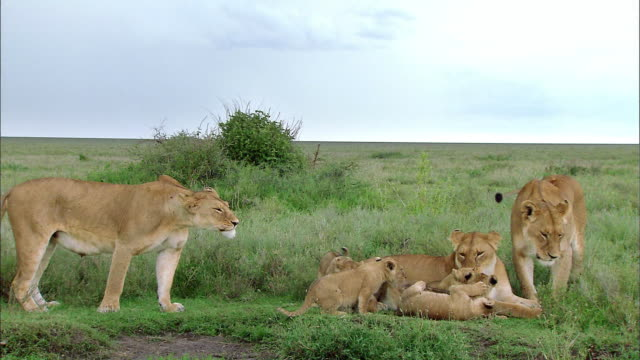 shot of lioness and and her cubs - female animal stock videos & royalty-free footage