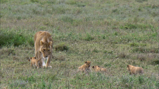 Shot of Lioness and her cubs
