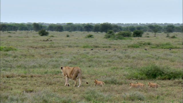 shot of lioness and her cubs walking in a line - young animal stock videos & royalty-free footage