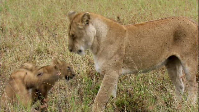 shot of lioness and her playful cubs - lion cub stock videos & royalty-free footage