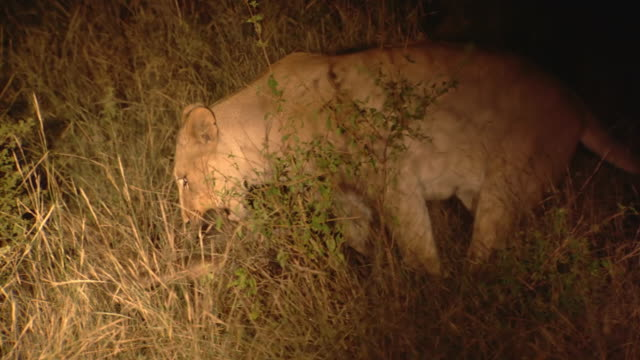 MS TS Shot of Lioness dragging kill, torchlight shone on it, Entabeni Game Reserve / Limpopo, South Africa