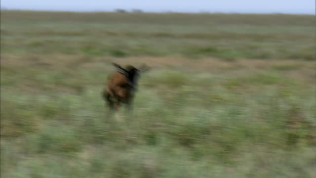 stockvideo's en b-roll-footage met shot of lioness hunting gazelle cub - jacht