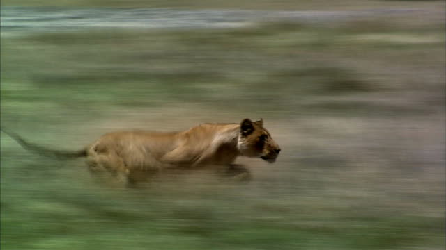 shot of lioness hunting gazelle cub - lion stock videos & royalty-free footage