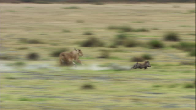 shot of lioness hunting wild pig - lion stock videos & royalty-free footage