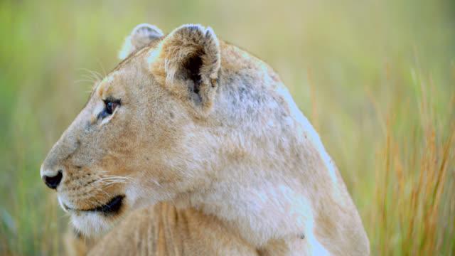CU TS Shot of Lioness (Panthera leo) looking away / Kruger National Park, Mpumalanga, South Africa