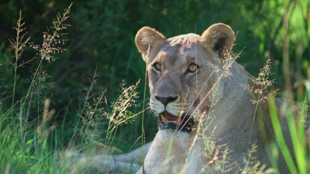 MS SLO MO Shot of  lioness lying in grass / Pilanesberg, Gauteng, South Africa