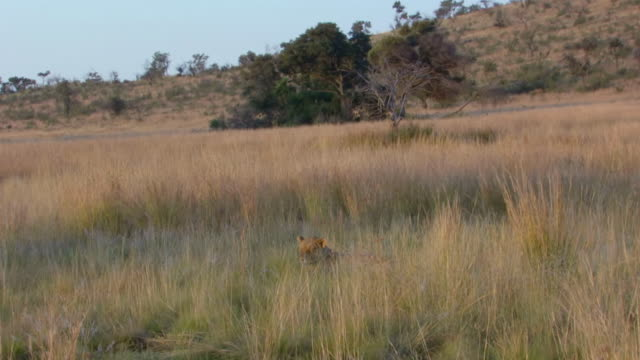 MS Shot of Lioness lying in tall grass, obscured by grass, Pilanesberg Game Reserve / North West Province, South Africa