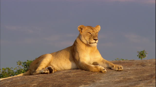 Shot of Lioness resting alone