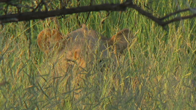 cu shot of lioness resting in long grass / south africa - hiding stock videos & royalty-free footage