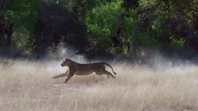 WS TS SLO MO Shot of Lioness running in bush / Kruger National Park, Mpumalanga, South Africa