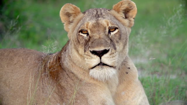 cu slo mo shot of lioness staring / kruger national park, mpumalanga, south africa - staring stock videos & royalty-free footage