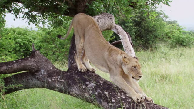 ws zi shot of lioness stretching / kruger national park, mpumalanga, south africa - löwe großkatze stock-videos und b-roll-filmmaterial