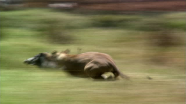 shot of lioness trying to hunt - jagd stock-videos und b-roll-filmmaterial