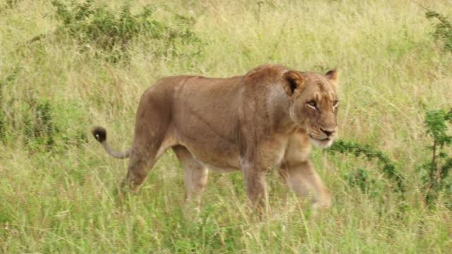 MS PAN Shot of Lioness walking / Kruger National Park, Mpumalanga, South Africa