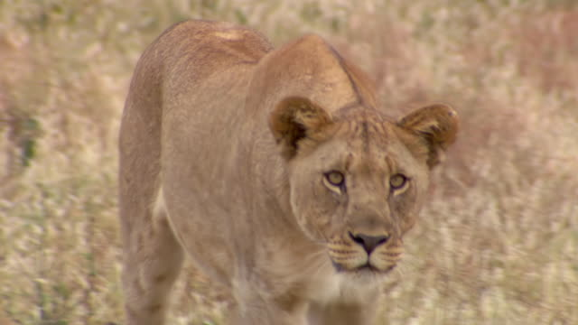 CU TS Shot of Lioness walking, Pilanesberg Game Reserve / North West Province, South Africa