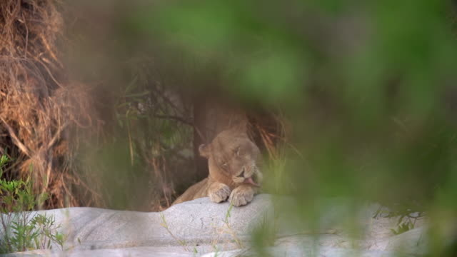 ms r/f shot of lioness yawning / kruger national park, mpumalanga, south africa - mpumalanga province stock videos and b-roll footage