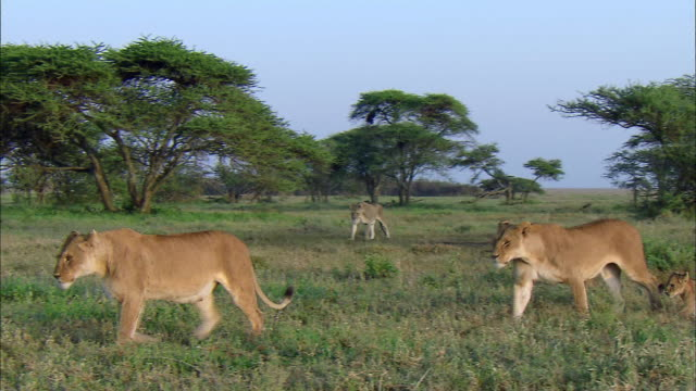 shot of lionesses and their cubs walking in a line - female animal stock videos & royalty-free footage