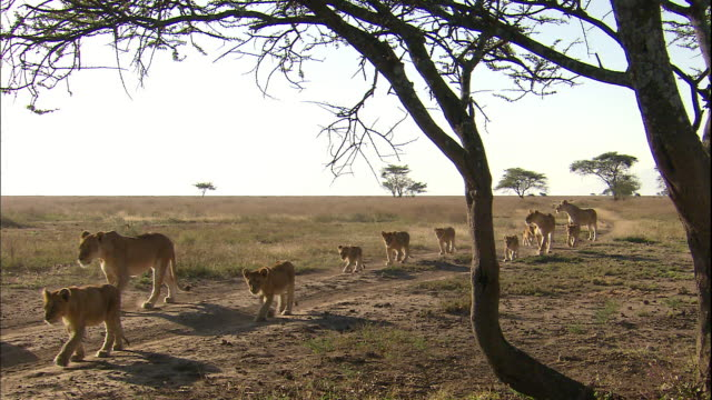 shot of lionesses and their cubs walking in a line - pride stock videos & royalty-free footage