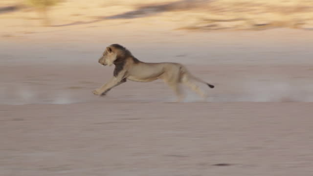 WS PAN Shot of Lions chasing each other and fighting / Kgalagadi Transfrontier Park, Northern Cape, South Africa