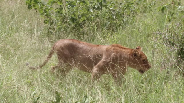 ms ts shot of lions eating wildebeest / kruger national park, mpumalanga, south africa - mpumalanga province stock videos and b-roll footage