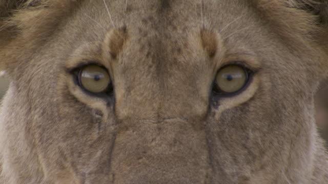 ECU Shot of lion's eyes / Tanzania