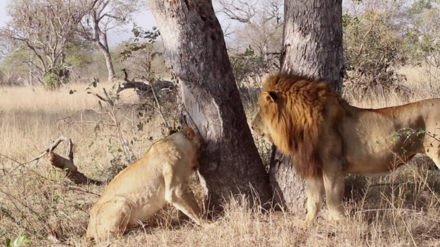MS TS Shot of Lions fight over carcass / Kruger National Park, Mpumalanga, South Africa