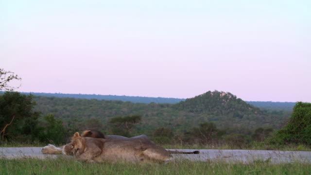 ws shot of lions resting / kruger national park, mpumalanga, south africa - provinz mpumalanga stock-videos und b-roll-filmmaterial