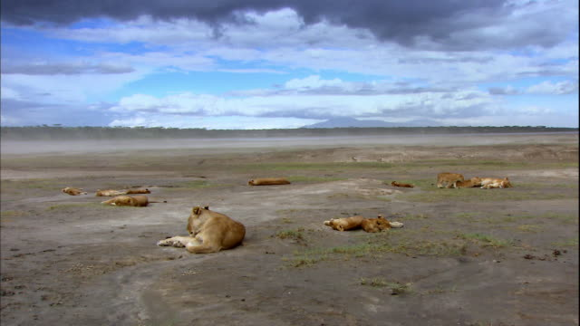 shot of lions resting on ground - resting stock videos & royalty-free footage