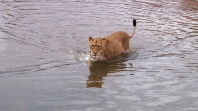 ms ts shot of lions walking through river / kruger national park, mpumalanga, south africa - mpumalanga province stock videos and b-roll footage