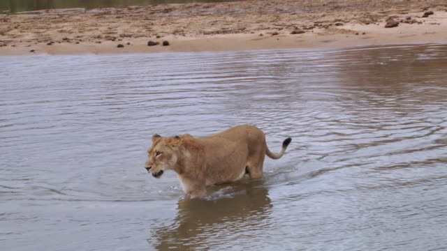 ws shot of lions walking through river / kruger national park, mpumalanga, south africa - mpumalanga province stock videos and b-roll footage