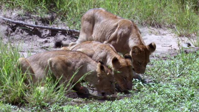 ms ts shot of lions walking to drink / kruger national park, mpumalanga, south africa - mpumalanga province stock videos and b-roll footage
